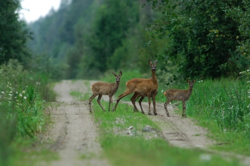 Deer control and Management