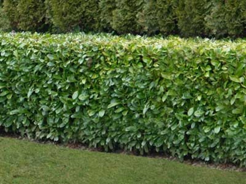 Garden Hedge Plants!