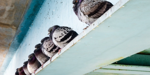 Bird Control Service Glasgow