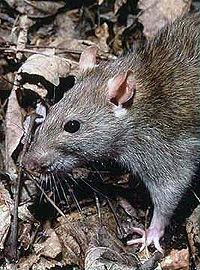 200px Rattus Norvegicus 1 1