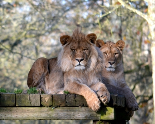 Semira And Boss our Lions
