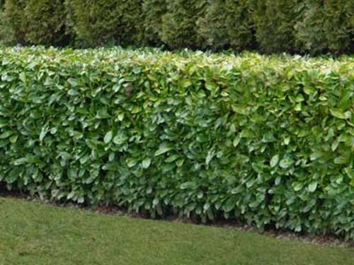 Garden Hedge Plants!