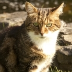 Cattery wouldn't be the same without a pretty Tabby cat Puzzle to cuddle at Chaiquinta Cattery Doncaster