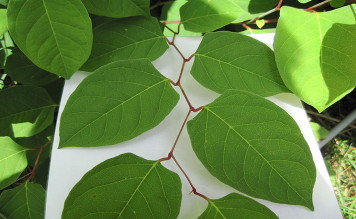 Japanese Knotweed Removal Services