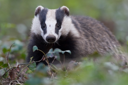 Badger control and management