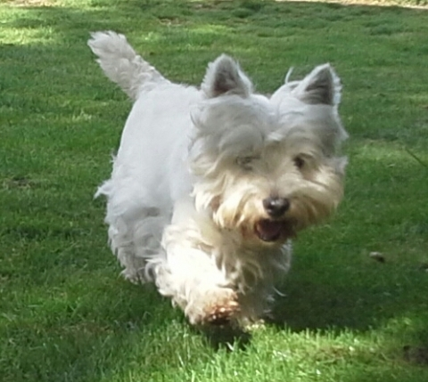 Westies walkies at Chaiquinta Pet Hotel and Grooming Salon Doncaster