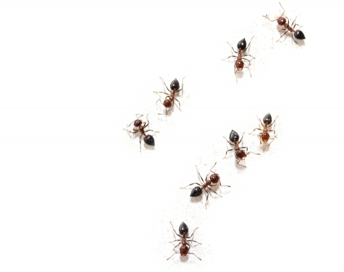Ants and Insect control Dorset and Hampshire